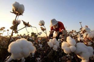 棉花期货涨停刺激概念股上涨 纺织企业囤货意愿增强