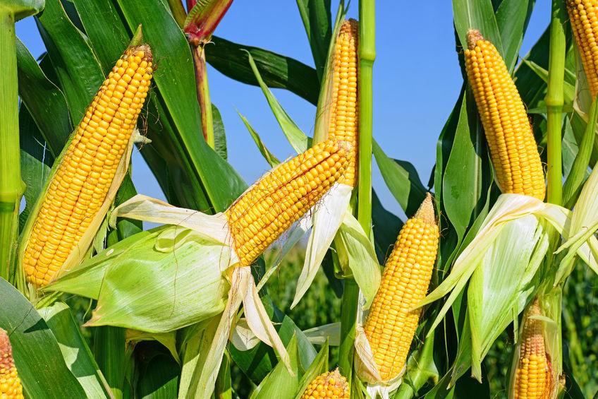 玉米期权将深化'保险+期货'试点业务
