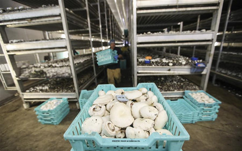 Feature: U.S. partnerships with China mushroom despite trade frictions