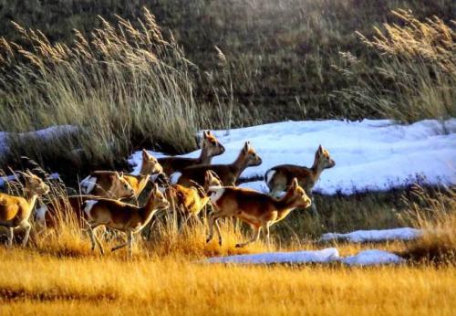 三江源国家公园:将持续加强生物多样性保护