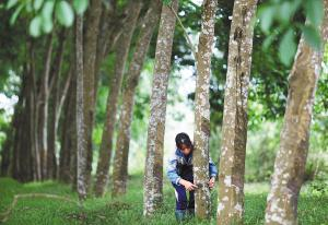 方正中期期货精准扶贫聚焦勐腊万亩橡胶林