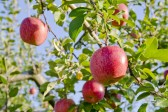 优果率担忧情绪加重 苹果期价大幅攀升