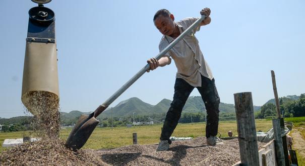 一次丰收——黑米产业扶贫助村民脱贫致富