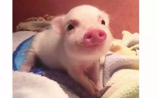 """丁磊、马云之后,刘强东也来了 为何互联网大佬都要变身""""猪农"""""""