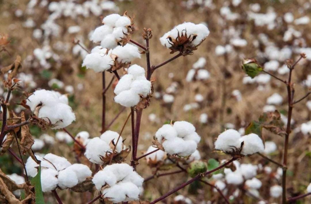 棉花期权获批1月28日上市
