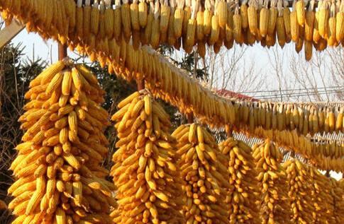 玉米期权上市
