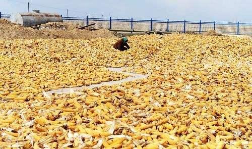 玉米期价恐继续下行
