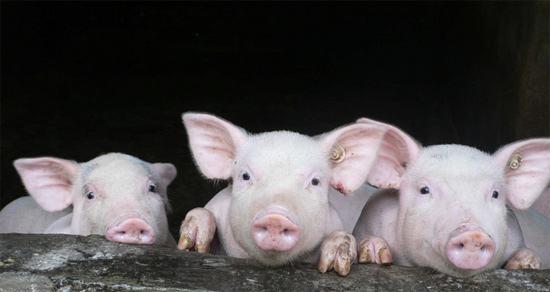 猪养殖周期拐点将至 天邦股份以研发推进养殖业务