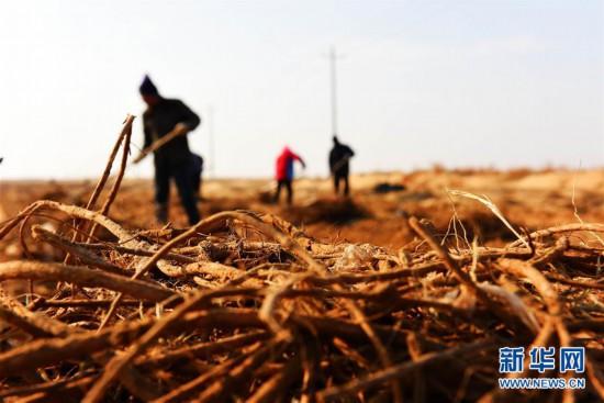 """(图文互动)(2)固沙又增效 我国第八大沙漠发展""""甜蜜产业"""""""