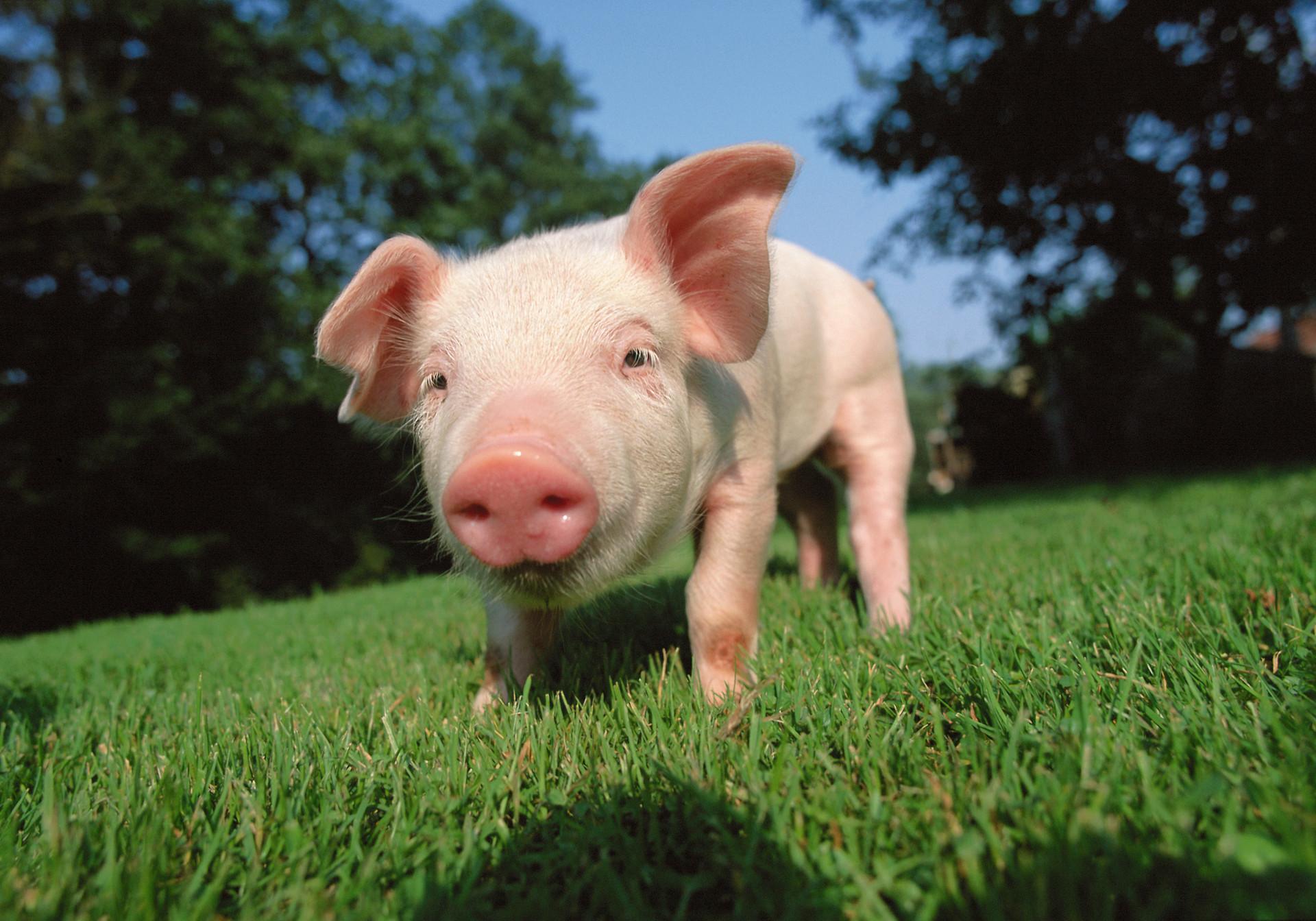 1月份全国生猪生产稳步恢复