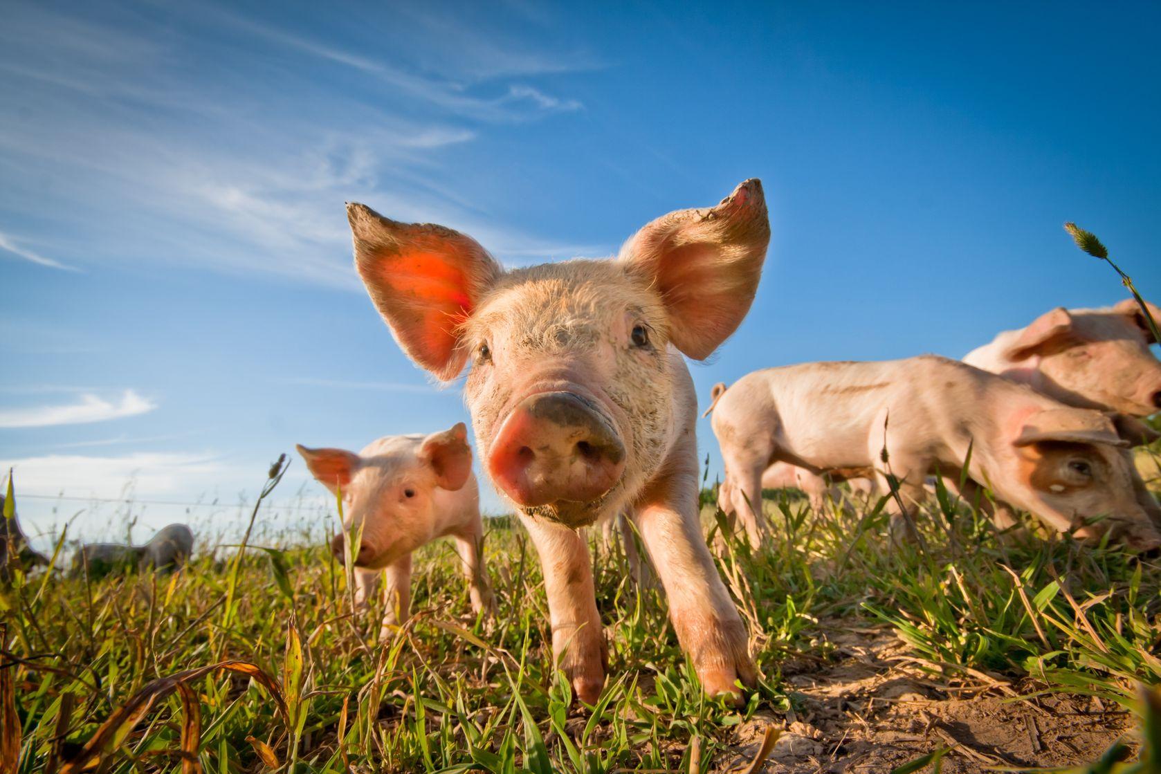 万科进军养猪业!毛利率不输房地产,碧桂园、恒大早已入局