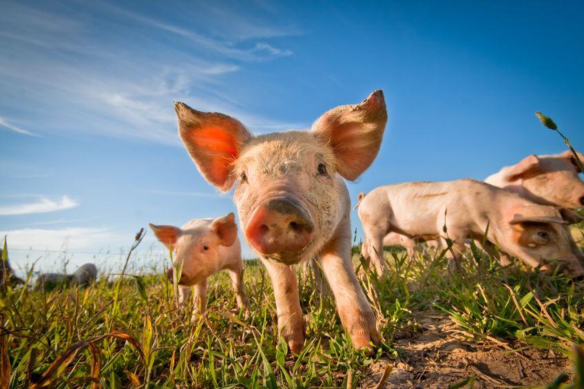 5月底至今生猪价格累计涨超30%,概念股有机会?